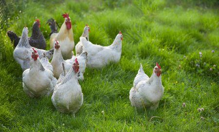 Gallo y pollos. Gallo y gallinas camperas