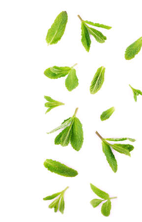 Fresh mint leaves on the white background. Archivio Fotografico