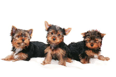 Three beautiful amusing puppies of  terrier on  white background photo
