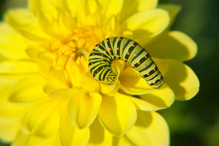 Caterpillar on yellow flower close up Stock Photo - 14041477