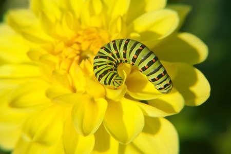 Caterpillar on yellow flower close up Stock Photo - 14041477