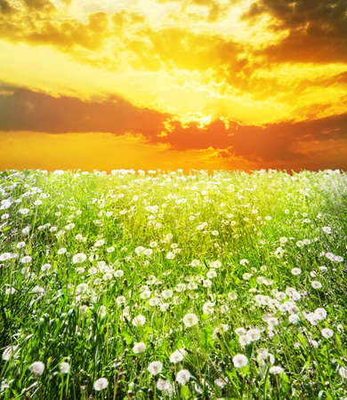 Beautiful dawn over field with dandelions Stock Photo - 15197510