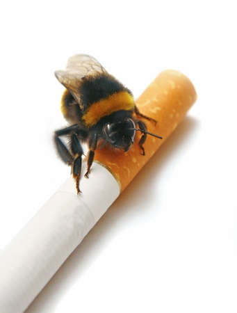 paper wasp:  big bee on cigarette isolated