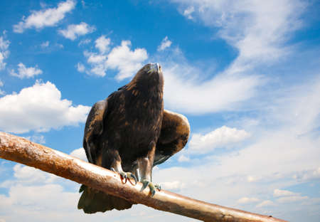 of prey: Eagle on  thick branch against the skyn Stock Photo