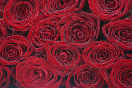 background from buds of red roses with water drops photo