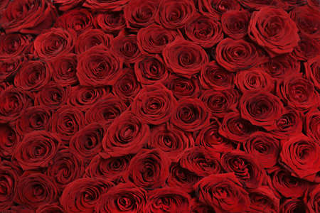 Background from big beautiful red roses photo