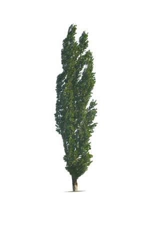arbol alamo: alto �rbol de �lamo aislado en fondo blanco