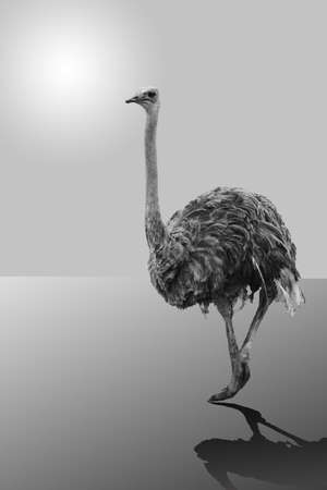 big ostrich moves on surface against the sky photo