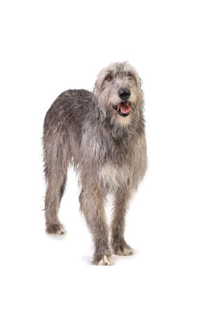dog the Irish wolfhound in studio on white background photo