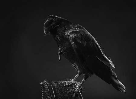 black raven close up dark background photo