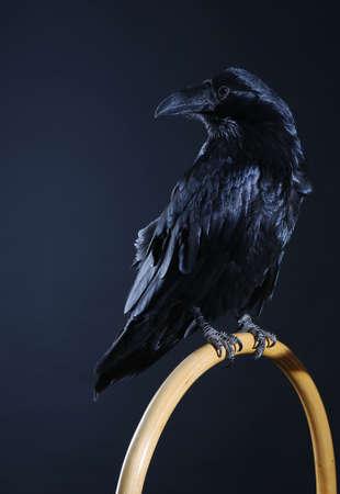 corvo imperiale: corvo nero vicino sfondo scuro Archivio Fotografico