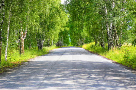 asphalted road in birchwood in summer
