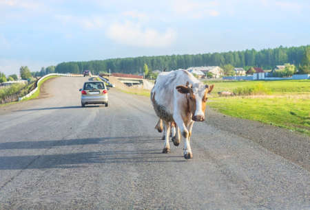 country highway: cow moving on country highway near village