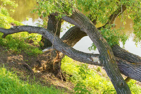 snag: river bank with an old snag in the summer Stock Photo
