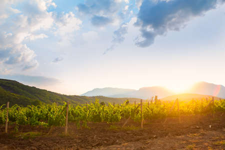 agriculture landscape: landscape vineyard in beams of the morning sun