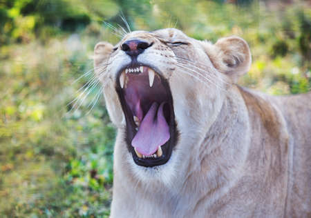mouth close up: lioness with an open mouth close up Stock Photo