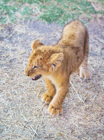 female lion: curious young lion goes across the field Stock Photo