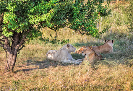 veldt: three lionesses have rest under tree shadow