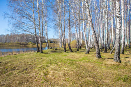 lake beach: birch forest on the shore of lake in spring