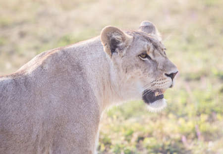 lioness: lioness with an open mouth close up Stock Photo