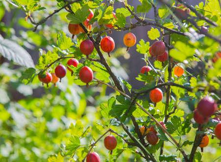 분기 근접 촬영에 구스베리의 잘 익은 열매