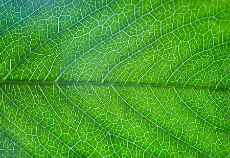 feuille arbre: green leaf of tree with streaks closeup Banque d'images