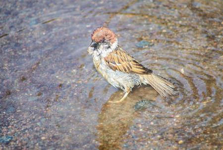 small sparrow bathes in the water