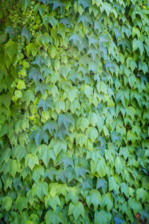 tightly: Green ivy leaves tightly covering wall background Stock Photo