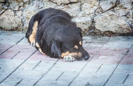 A homeless dog lies and sleeps on the pavement. Closeup