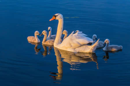 Swan with seven small swans serenely floating on the blue surface of the water Stock Photo