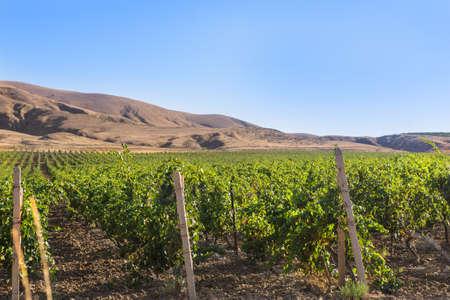 large grape field vineyard in highlands