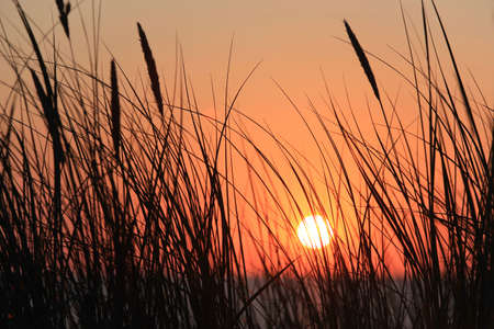 Disc of the sun in the red sky peeping through the silhouettes of grass stalks