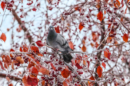 dove on icy branch with berries and orange leaves