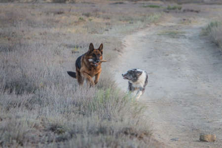 German shepherd dog and border collie playing with stick on the field