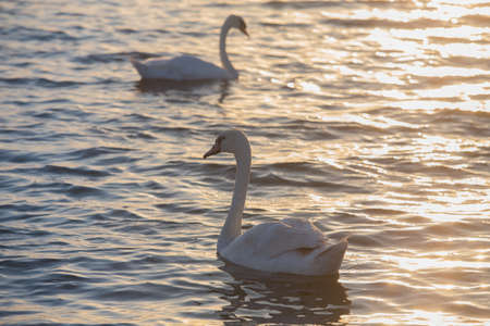 pair of adult white swans moves on the water surface