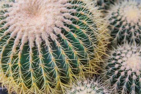Globular Notocactus close-up, detail Stock fotó