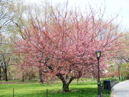 Cherry tree in Central Park New York Stock Photo - 4334670