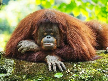 The Bornean orangutan (Pongo pygmaeus) is a species of orangutan native to the island of Borneo.