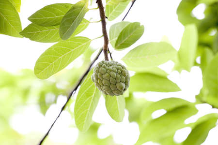 annona: Custard apple fruit,Nona,-Nona