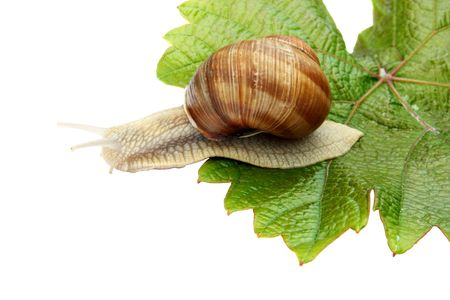 Snail on a green vine sheet on a white background