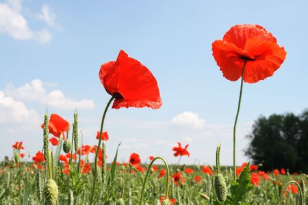 Red poppy on a background cloudy sky photo