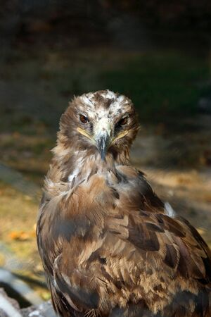aquila: Steppe eagle Aquila rapax Stock Photo