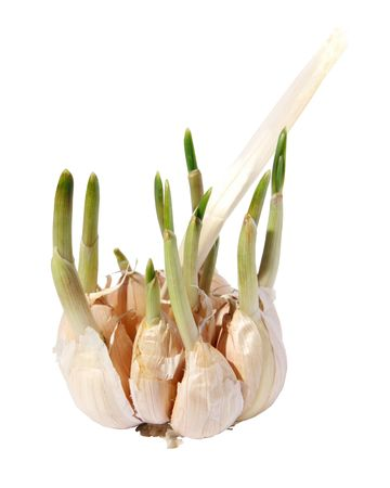 germinating: Germinating garlic on a white background. (isolated)