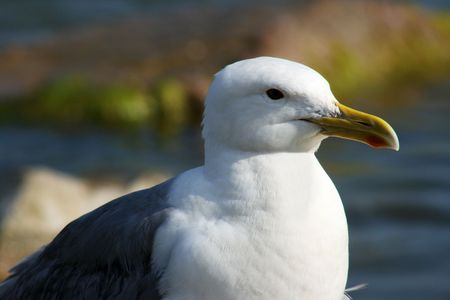 White gull on a background a sea photo