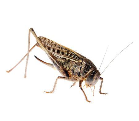 Grasshopper, Locusts on a white background. (Tettigonioidea), (Schistocerca gregaria),