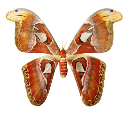 Butterfly on a white background, (Attacus atlas), (isolated) photo