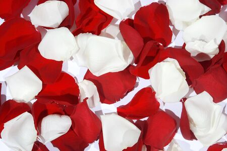 white and red Background from the living petals of flowers to the day of sainted Valentine photo