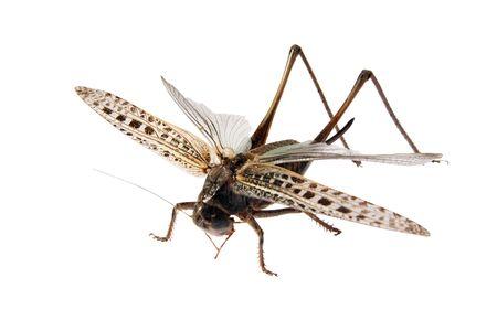 Grasshopper, Locusts on a white background. (Tettigonioidea), (Schistocerca gregaria),  photo