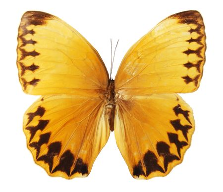 yellow butterflies: Butterfly on a white background, (Stichophthalma howqua), (isolated)