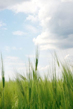 Green wheat field on a background cloudy sky